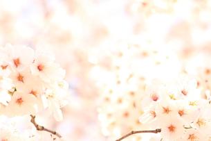 満開の桜の素材 [FYI00398070]
