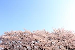 満開の桜の素材 [FYI00398071]