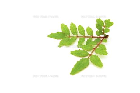 木の芽の素材 [FYI00398090]
