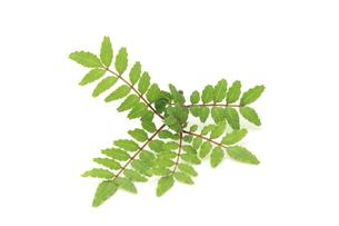 木の芽の写真素材 [FYI00398101]