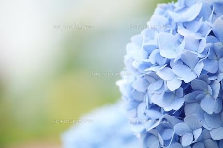 紫陽花の素材 [FYI00398112]