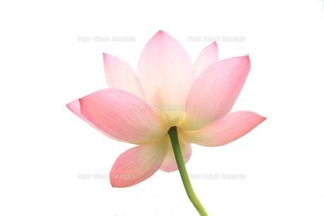 蓮の花の素材 [FYI00398117]