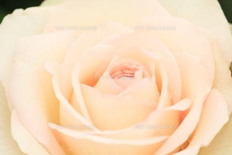 薄紅色のバラの花の素材 [FYI00398171]