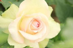 薄紅色のバラの花の素材 [FYI00398181]
