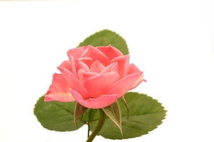 ピンクのバラの写真素材 [FYI00398197]