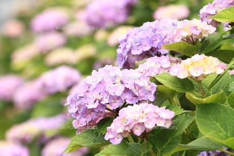 紫陽花の素材 [FYI00398205]
