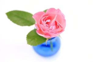 ピンクのバラの花の写真素材 [FYI00398211]