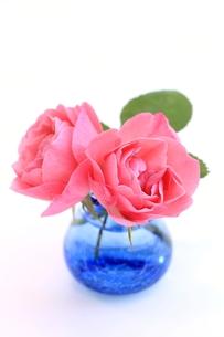 ピンクのバラの写真素材 [FYI00398212]