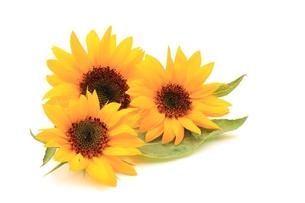 ヒマワリの花の写真素材 [FYI00398230]