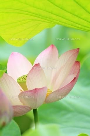 ハスの花の素材 [FYI00398309]