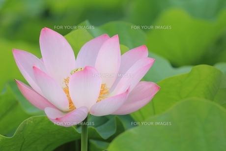 蓮の花の素材 [FYI00398312]