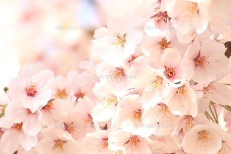 一面の満開の桜の素材 [FYI00398568]