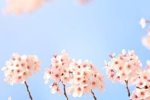 満開の桜の素材 [FYI00398585]