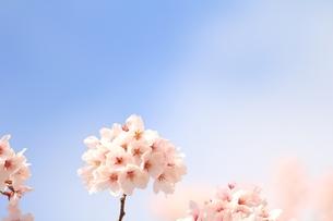 満開の桜の素材 [FYI00398589]