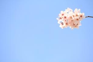 満開の桜の素材 [FYI00398590]