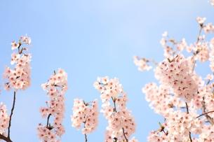 満開の桜の素材 [FYI00398603]