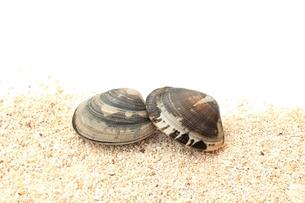 アサリ貝の写真素材 [FYI00398709]
