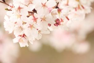 桜の素材 [FYI00398726]