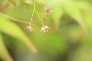 モミジの小花の素材 [FYI00398798]