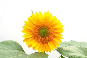 ヒマワリの花の写真素材 [FYI00398882]