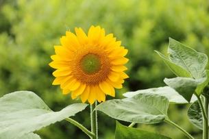 ヒマワリの花の写真素材 [FYI00398911]