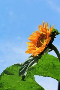 青空と向日葵の写真素材 [FYI00398917]