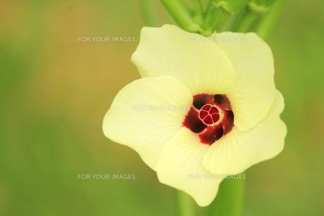 オクラの花の素材 [FYI00398956]
