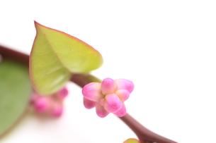 ツルムラサキの花の写真素材 [FYI00398974]
