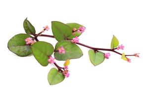 ツルムラサキの花の写真素材 [FYI00398975]