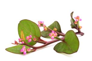 ツルムラサキの花の写真素材 [FYI00398980]