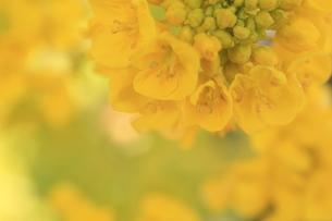 菜の花の素材 [FYI00399004]
