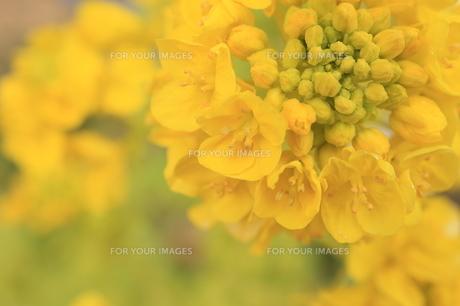 菜の花の素材 [FYI00399010]