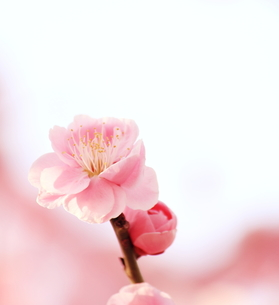 ピンクの梅の花の素材 [FYI00399019]