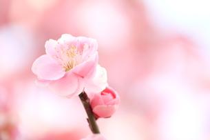 ピンクの梅の花の素材 [FYI00399025]