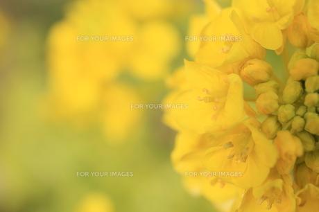菜の花の素材 [FYI00399028]
