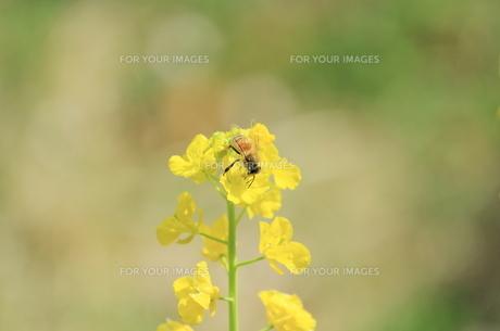 菜の花と蜜蜂の素材 [FYI00399031]