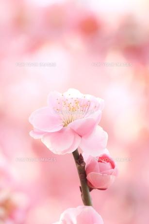 ピンクの梅の花の素材 [FYI00399036]