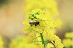 菜の花と蜜蜂の素材 [FYI00399040]