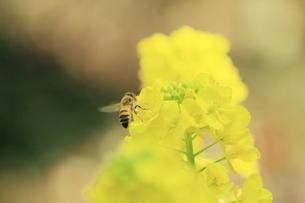 菜の花と蜜蜂の素材 [FYI00399042]