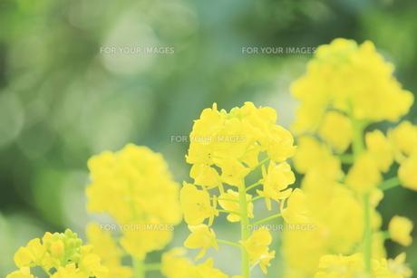 菜の花畑の素材 [FYI00399043]