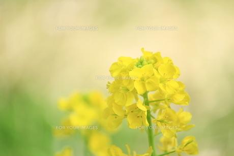 菜の花の素材 [FYI00399047]