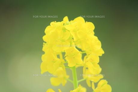 菜の花の素材 [FYI00399048]