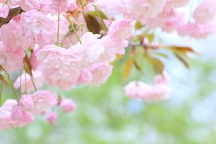 花笠桜の素材 [FYI00399084]