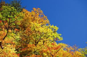 黄色の紅葉と青空の素材 [FYI00399101]