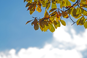 秋の葉の素材 [FYI00399125]