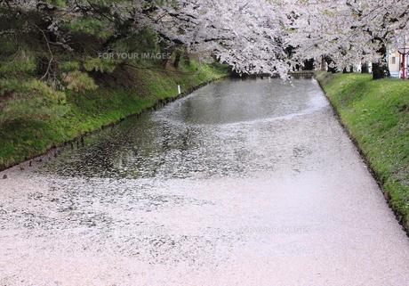 お掘りの桜の素材 [FYI00399156]