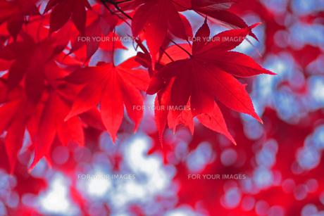 赤いもみじの透過光の写真素材 [FYI00399160]
