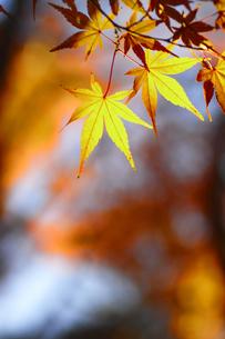 晩秋の紅葉の素材 [FYI00399163]