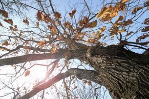 柏の木と青空の素材 [FYI00399606]