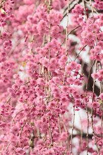 弘前公園と桜の素材 [FYI00399980]